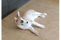 husky cachorro en adopcion barcelona