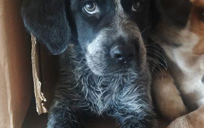 setter ingles cachorro en adopcion