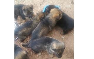 Cachorros pastor aleman en adopcion Castellon