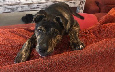 Preciosa cachorra cruce de mastin en adopcion