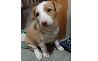cachorro podenco en adopcion