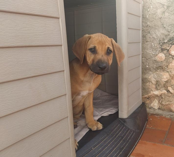 cachorros rhodesian en adopcion