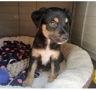 Cachorro en adopcion cruce de bodeguero