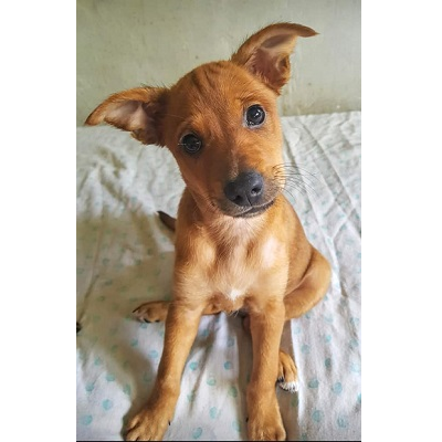 Pincher cachorro en adopcion