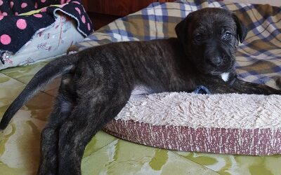 cachorro mastin en adopcion