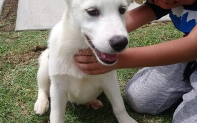 Cachorro en adopcion cruce de husky en Mexico