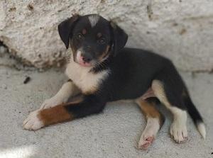 Cachorros en Adopcion tamaño pequeño