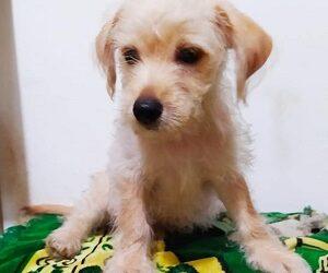 adoptar cachorro raza pequeña