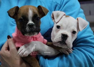 boxer cachorro en adopcion 2 meses