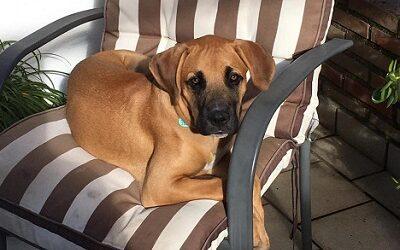 cachorro boxer en adopcion 4 meses