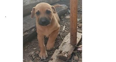 cachorros rhodesian machos en adopcion
