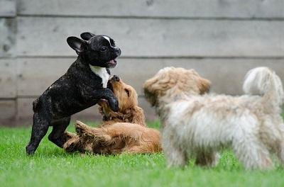 Como juegan los cachorros
