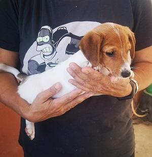 Cachorro Jack Russell en adopcion